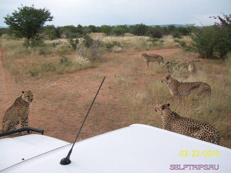 Ферма гепардов Otjitotongwe.