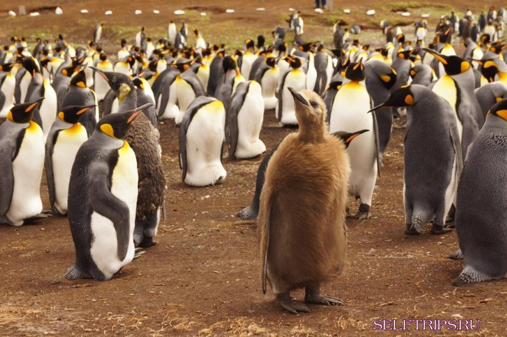 Royal Penguin Eudyptes Schlegeli  Animals  AZ Animals