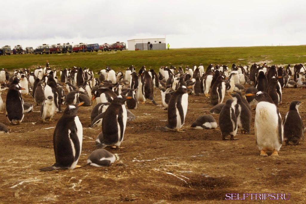 По бездорожью Фолклендов к королевским пингвинам
